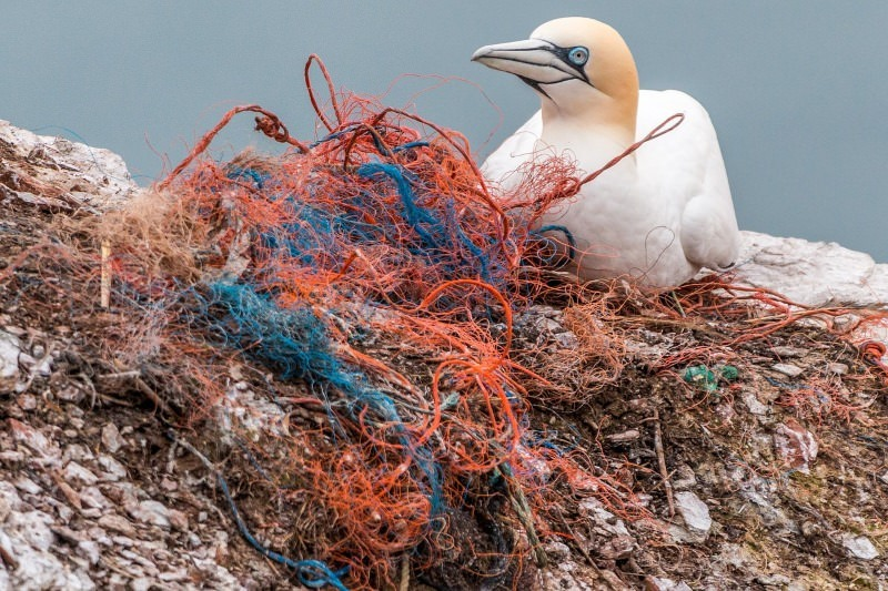 Ave presa em redes de pesca
