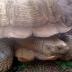 344-Year-Old Tortoise, Alagba Dies In Ogbomosho