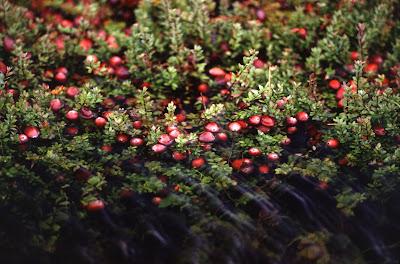 ekstrak cranberry
