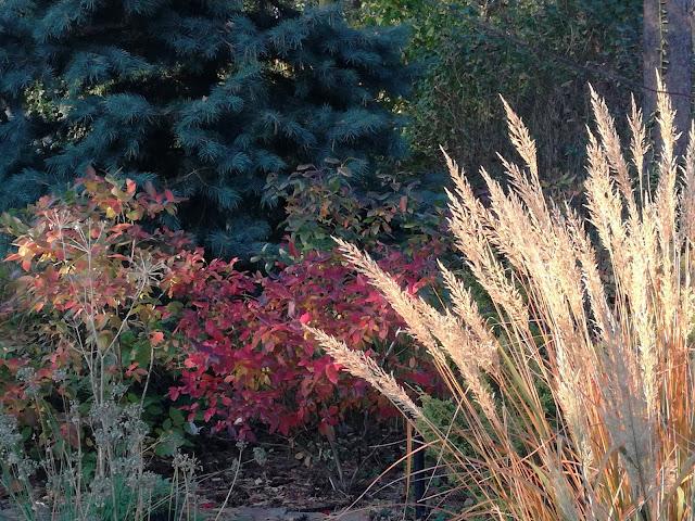 borówka amerykańska jesienią, trzcinnik