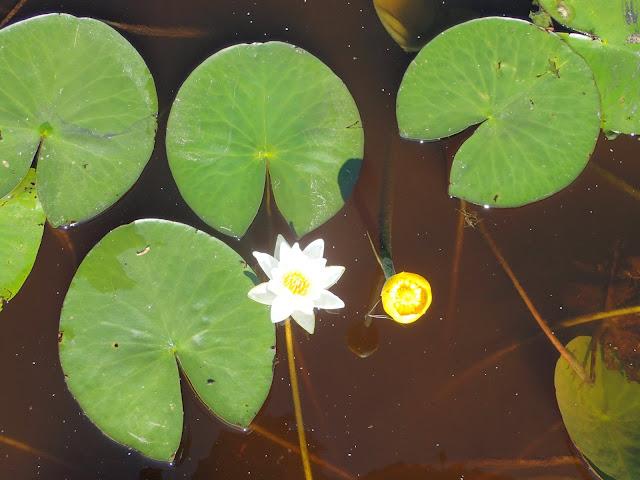 Kaksi eri väristä kukkaa ja lehtiä veden pinnalla
