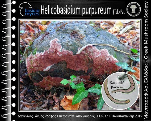 Helicobasidium purpureum (Tul.) Pat.