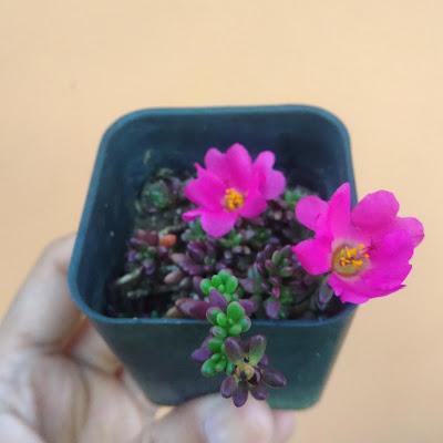 Portulaca Gilliesii succulents