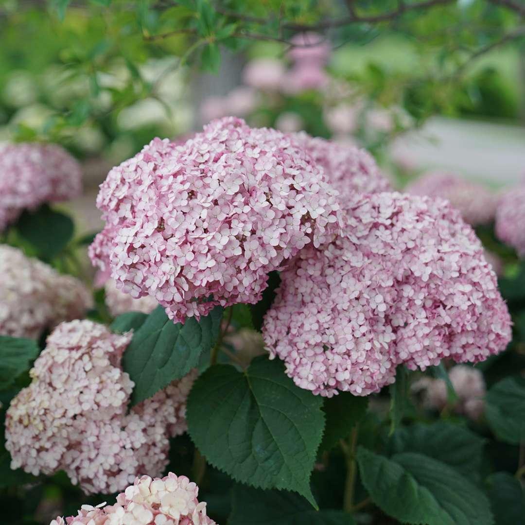 Hortensia con flores grandes y redondas de color rosa
