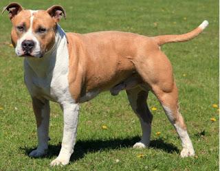 17 Jenis Anjing Setia