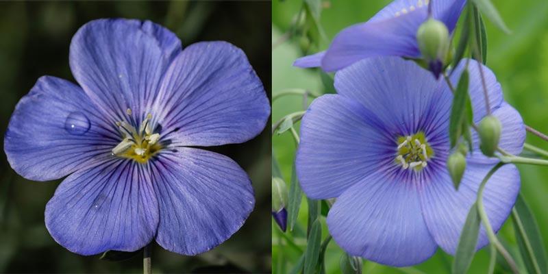 अलसी का फूल