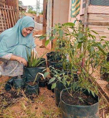 kegiatan berkebun memindahkan lidah buaya dan tanaman lain