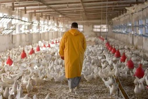 """أخبار المغرب: مهنيو الدواجن في المملكة يتخوفون من تداعيات """"أنفلونزا الطيور إتش 5 إن 1 H5N1"""" بالجزائر"""