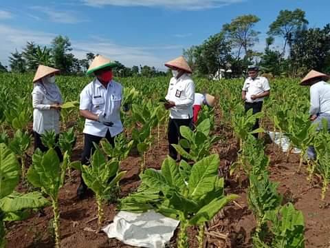 Petani Tembakau Desa Sidowangi, Panen Raya Bersama Wakil Bupati Banyuwangi