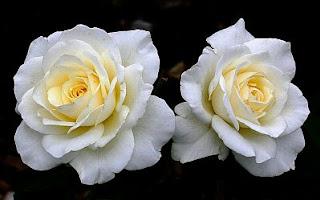 Flores, Fotos de Rosas Blancas, parte 4