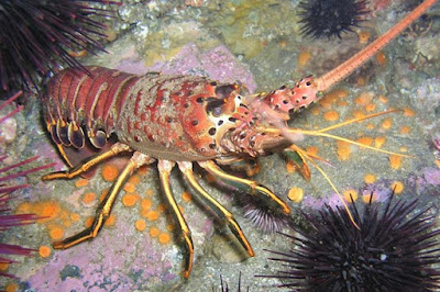 Lobsters show the planning of the Master Engineer when they move up to a new shell.