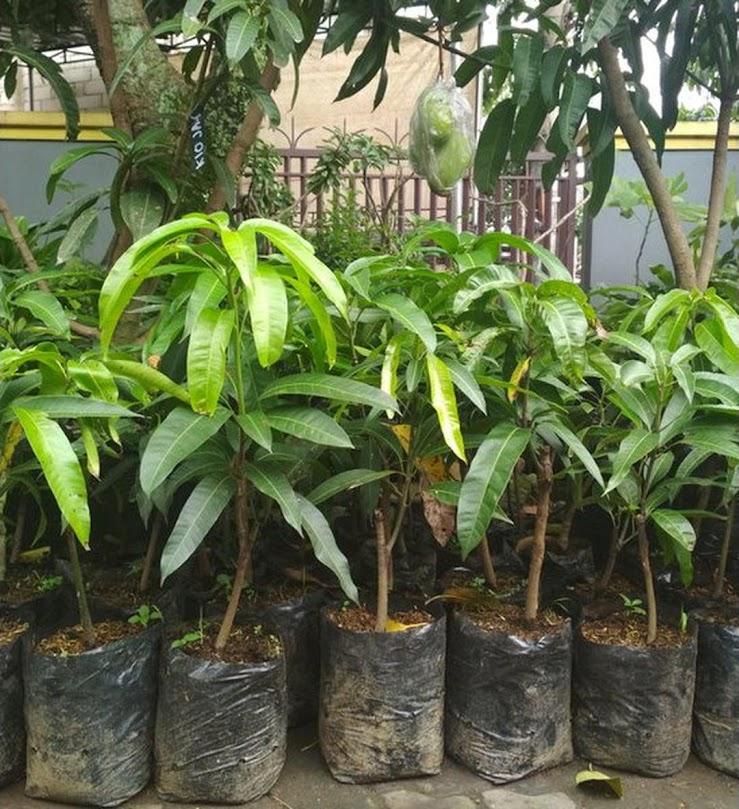 Bibit Mangga Irwin Australia Mangga Ungu Hasil Stek Okulasi Cepat Berbuah Jawa Timur