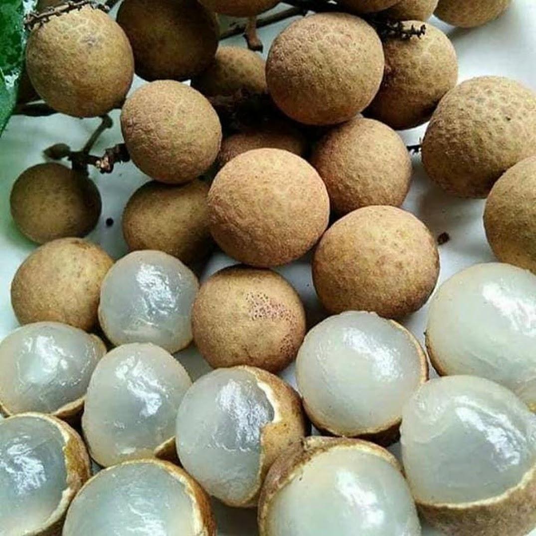 bibit tanaman buah klengkeng pingpong buah segede bola pingpong Bontang