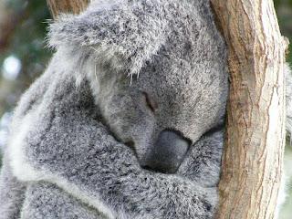 Koala tidur 18 jam perhari
