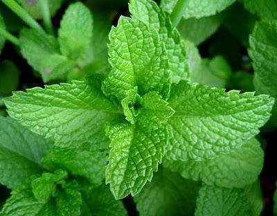 daun mint sebagai obat btuk berdahak