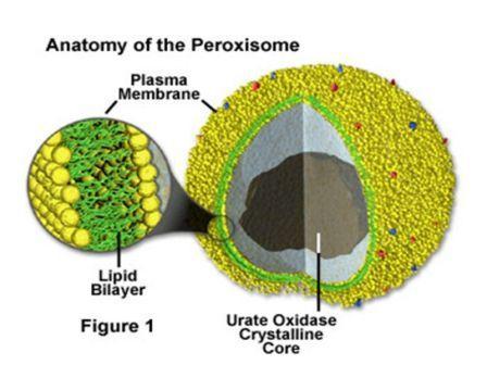 Peroksisom (Badan Mikro)