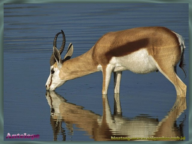 gambar antelop