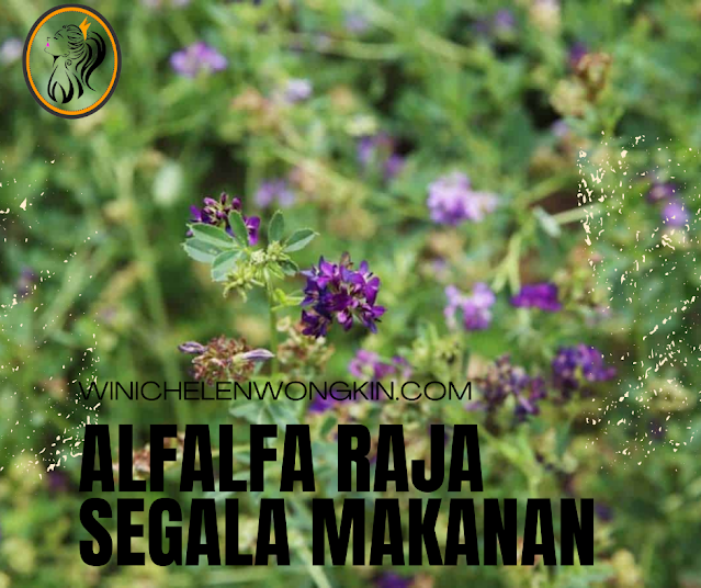 Alfalfa Raja Segala Makanan | Winichelen Wongkin