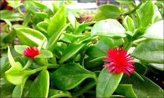 As folhas são ovais, com uma cor viva em verde escuro, podendo se apresentar em tons de verde musgo ou verde-claro, com coloração de branco. Os ramos são volumosos e numerosos apresentam a mesma cor das folhas, sendo bastante brilhantes para ornamentação.