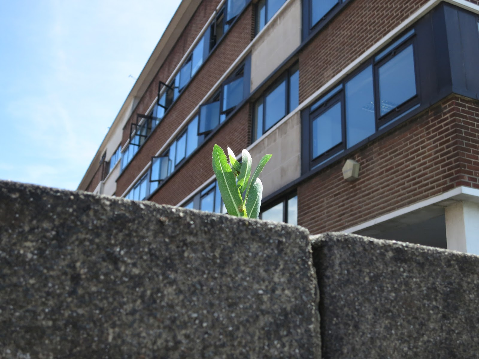 Prickly lettuce plant? (Lactuca serriola) rising from wall in front of offices with open windows.