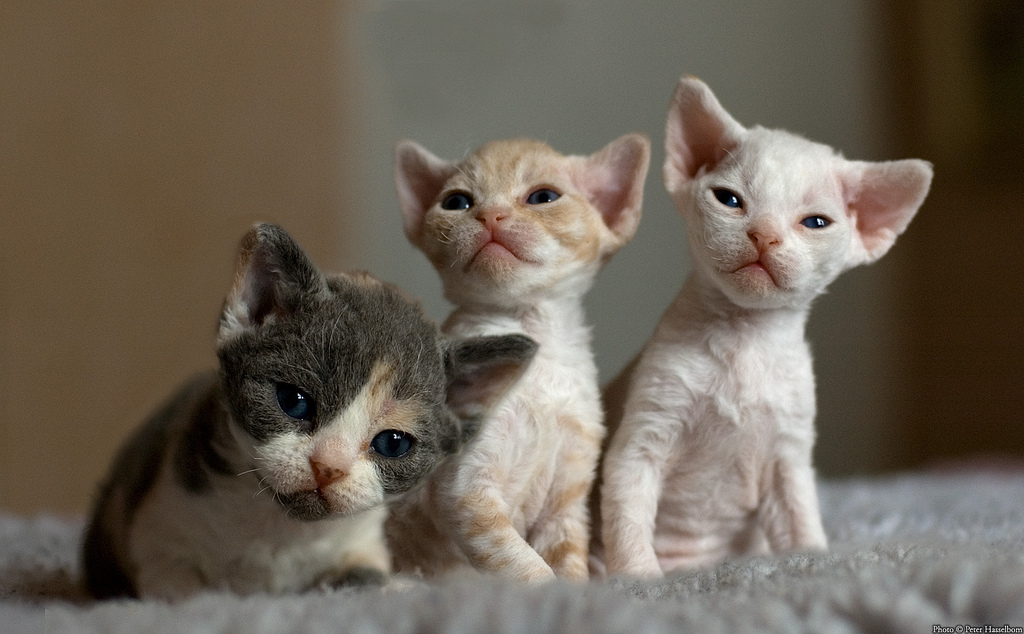Sphynx Cat For Sale Seattle