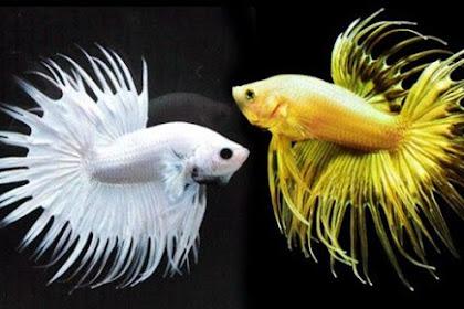 Jenis Jenis Ikan Hias Kecil yang Bisa Hidup Tanpa Oksigen