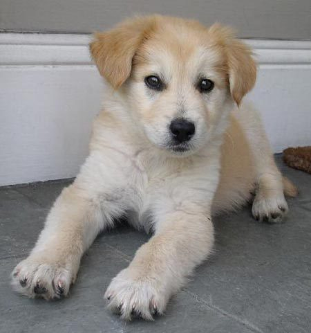 Golden Retriever Dog Golden Retriever Mix Puppies