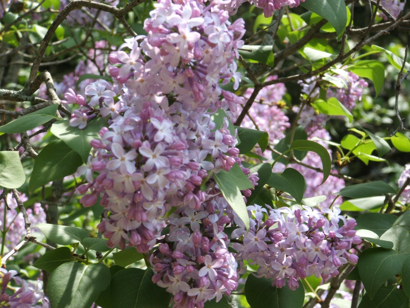 God S Growing Garden Maintaining Lilac Bushes