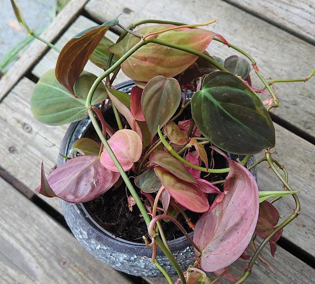 Philodendron micans i potte, våt etter sprøyting