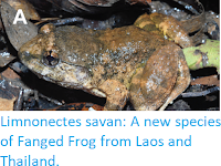 https://sciencythoughts.blogspot.com/2019/06/limnonectes-savan-new-species-of-fanged.html