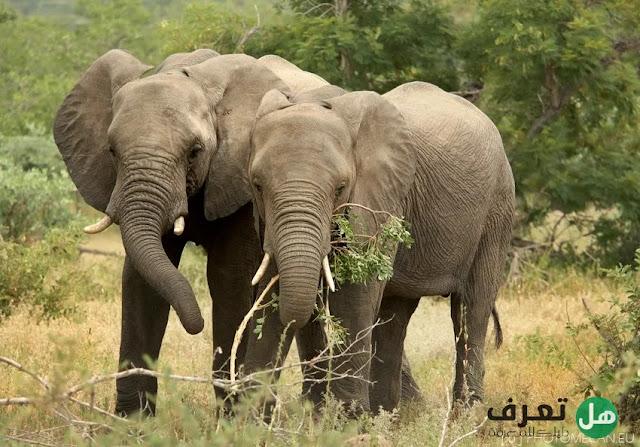هل تعرف, معلومات عن الفيل ؟