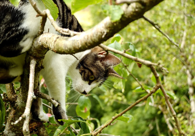 Photo of a white and brindle cat climbing down a plum tree.