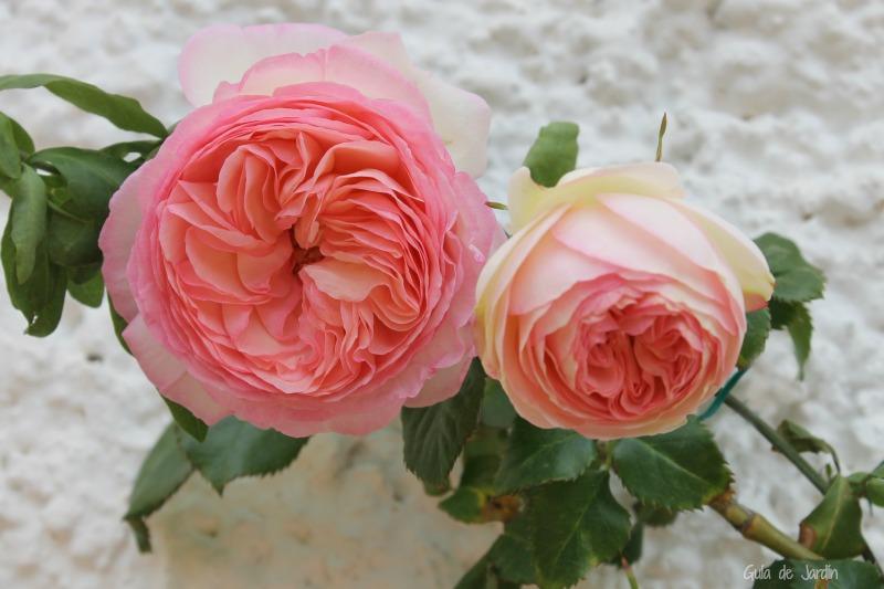 "Rosas ""Pierre de Ronsard"""