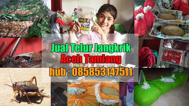 Jual Telur Jangkrik Aceh Tamiang Hubungi 085853147511