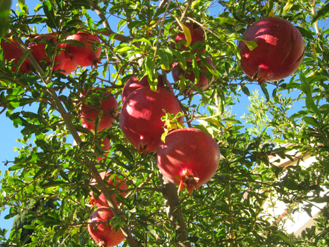 Our Pomegranate Tree This Morning