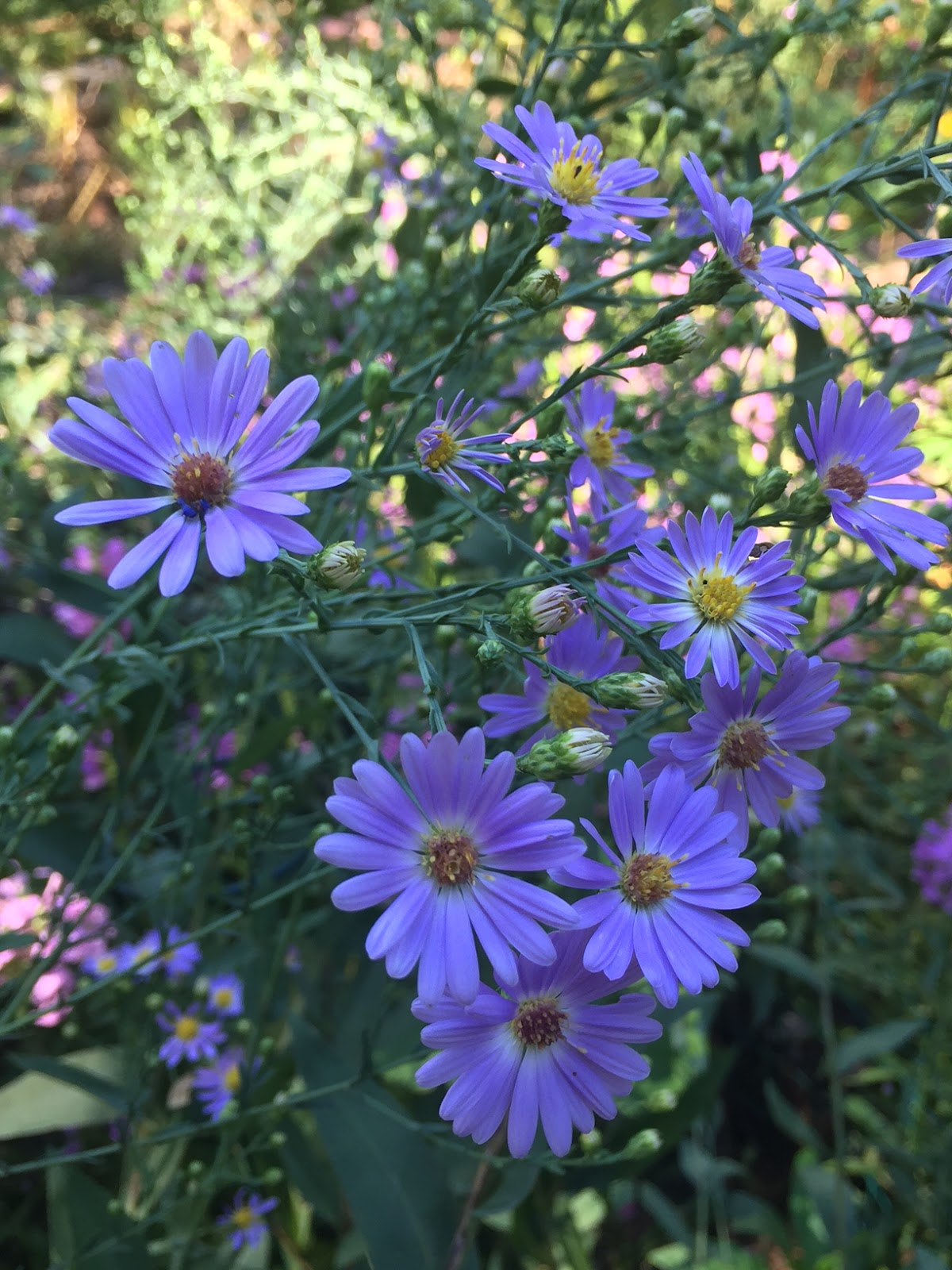 The Phytophactor Friday Fabulous Flower Smooth Blue Aster