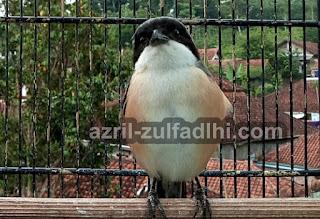 Burung Cendet Miyik