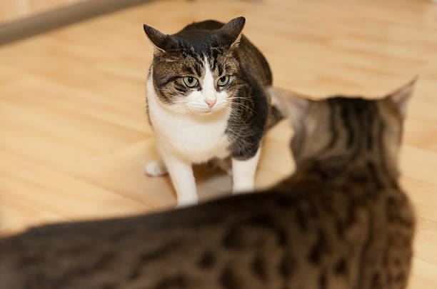 Why Cats Fight – The Reasons for It