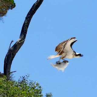 Seeadler, Adler, Beute, Fisch, Australien, Moreton