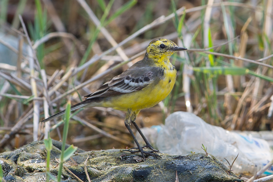 Five Citrine Wagtails – Jubail