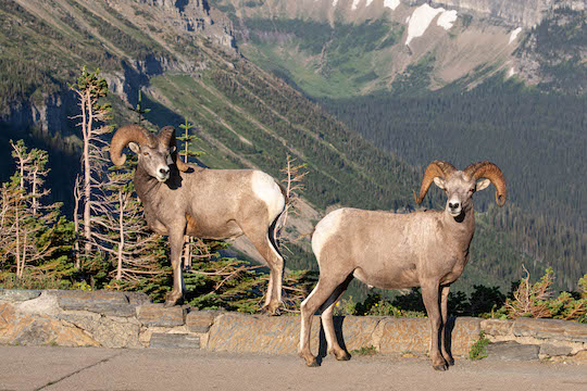 Bighorn Sheep Rams at Logan Pass Parking Lot