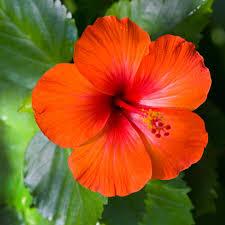 Hibiscus rosa-sinensis Linn (Family Malvaceae)