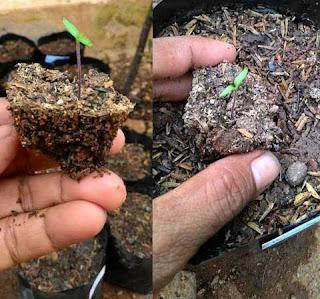 cara menanam cabe dalam polybag