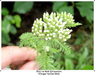 Şifalı Bitkiler 1