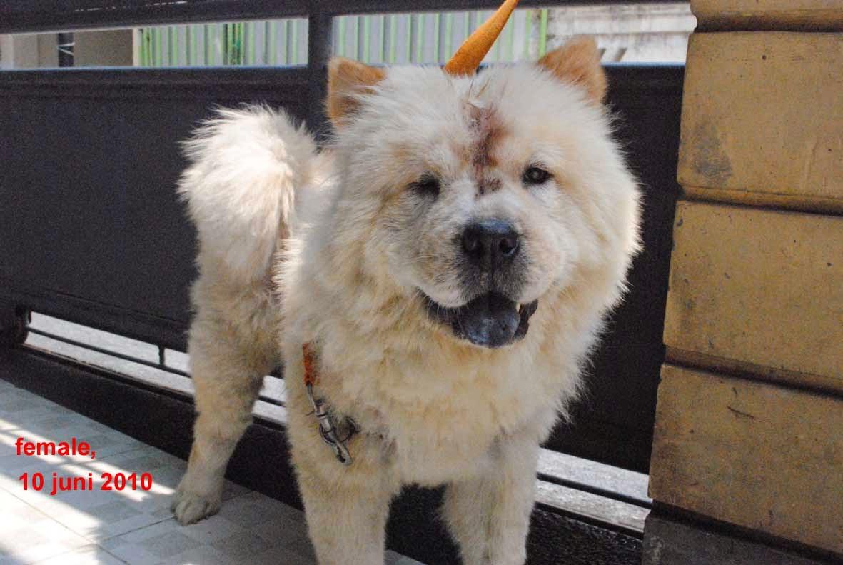 Specialist Anjing Pom Dan Chow Chow