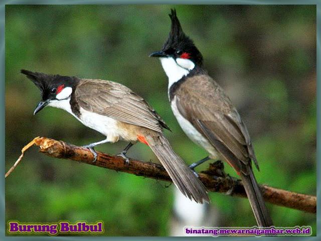gambar burung bulbul