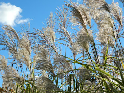 Miscanthus sinensis Maiden grass autumn seedheads Toronto Botanical Garden by garden muses-not another Toronto gardening blog