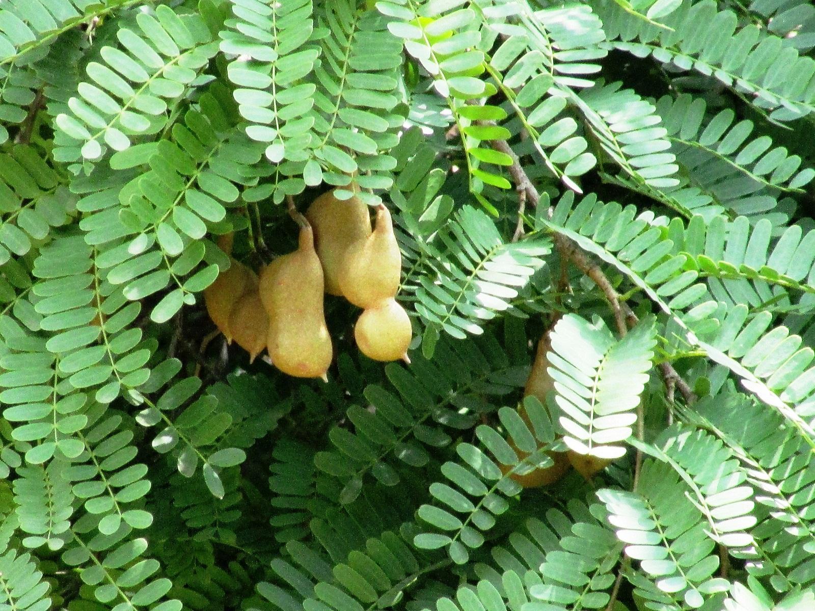 daun untuk obat