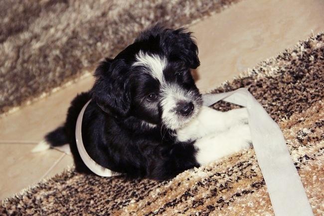 havanese small puppy