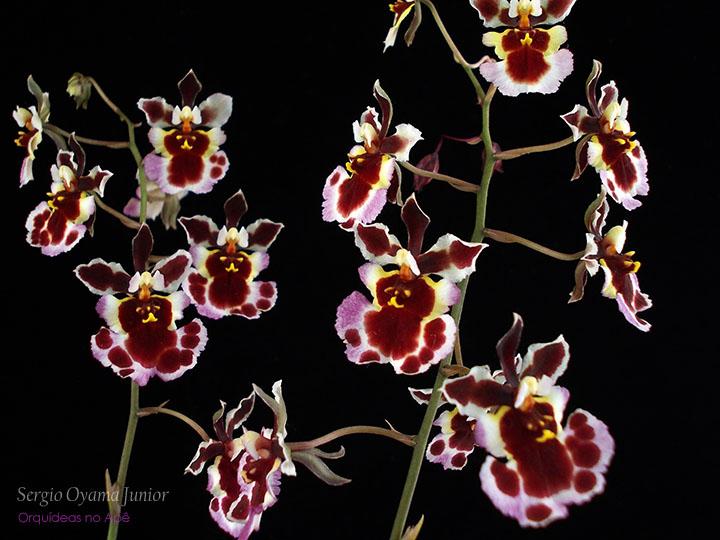 Micro-orquídea Tolumnia híbrida